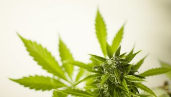 How Does Marijuana Use Affect Workers Compensation?